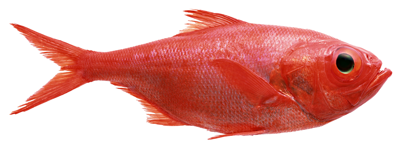 Image gallery red fish for Red fish pictures